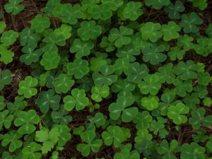 Shamrocks in the Redwood Forest