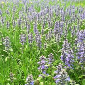 Field of Mini Purple Trees